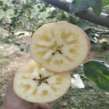 红色之爱苹果树基地 4年新品种苹果树 正一 技术管理
