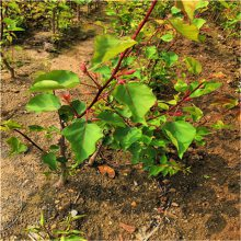 杏子树苗、四川杏树苗新品种杏树苗价格_1-5公分杏树成苗_杏树种苗基地