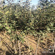 苹果苗多少钱1公分烟富苹果苗价格 苹果苗批发价格优惠