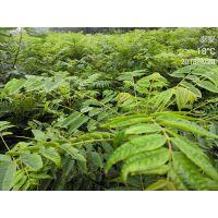 香椿苗批发 1公分2 3 4 6公分,香椿苗栽培-正一园艺场