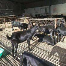 本地山羊养殖技术现货供应
