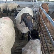 大母湖羊價格報價一只價格報價現貨供應