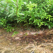 果树之乡供应石榴苗_甜石榴树苗品种_软籽石榴苗价格_石榴种苗成苗规格全