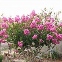 丛生紫薇产地 冠幅1米2米3米丛生紫薇价格便宜 绿化效果好