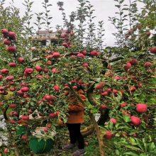维纳斯黄金苹果苗基地 瑞阳苹果苗零售价 正一 批发