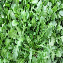 特菜种子种苗花叶荠菜种子 耐寒***较大的野菜种子品种