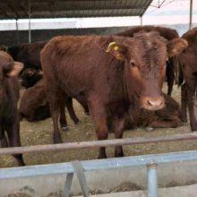 黄牛牛崽多少钱一头养殖利润