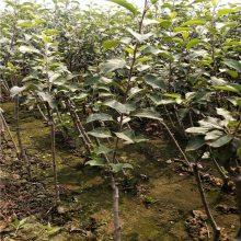 烟富8苹果树 高原黑苹果树价格 正一 服务优良