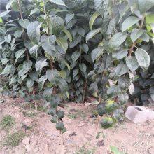 药材杜仲苗批发 药材庭院盆栽杜仲苗 正一 易管理