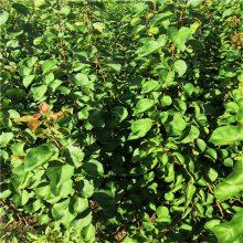 杏树苗价格 金太阳杏树苗什么行情 3公分杏树苗报价多少钱一棵