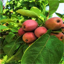 苹果苗、苹果树苗想种植新品种苹果苗的朋友看一下_早熟鲁丽苹果苗价格_2年苹果成苗成活率高