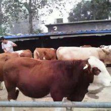 肉牛小牛多少钱一头养殖利润