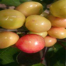 樱桃苗品种纯正 吉塞拉樱桃苗品种 拉宾斯樱桃苗种植前景