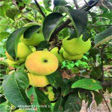 安徽苹果苗价格_维纳斯黄金苹果苗售价_2年苹果成苗批发