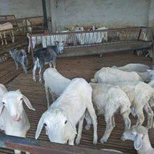 20斤的小羊羔价格报价一只现货价格