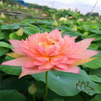 ***湿地|公园|园林绿化荷花种苗、荷花小苗供,十年经营,帆顺品质,客户安心