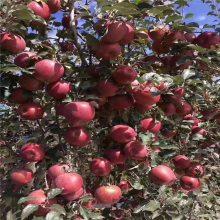 5年红富士苹果树价格 鸡心果苹果树 正一 大量***