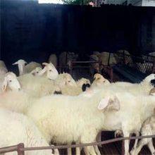 一只肉羊价格报价价格是多少农场直发