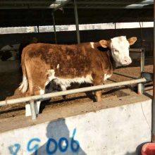 肉牛多少钱一斤今日肉牛毛重价格养殖利润