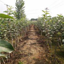 1年瑞香红苹果树 蜜脆苹果树批发 正一 耐储存