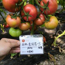 意佰芬-5 精品大果番茄种子种苗 粉红色 京研益农出品