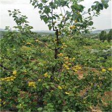 杏树苗基地杏树苗价格_如果您想栽培杏树苗请正一园艺_讲诚信买的放心