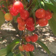 吉塞拉樱桃苗价格趋势 6公分红宝石樱桃苗 正一 现挖现卖