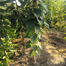 俄罗斯8号樱桃苗批发价格 2公分3公分矮化樱桃苗哪里有卖