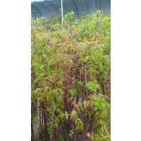 香椿苗批发 1公分2 3 4 6公分,香椿苗多少钱一斤-正一园艺场