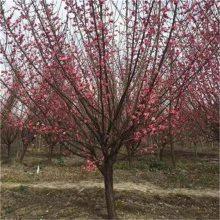 哪里卖红梅 江苏红梅树(梅花)价格便宜品种纯正