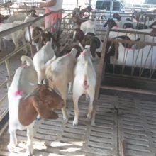 白山羊養殖價格現貨價格