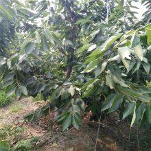 大量批发樱桃苗 4公分樱桃苗产量 吉塞拉樱桃苗缓苗技术