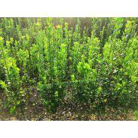 北海道黄杨小苗 正一园艺场销售,北海道黄杨树
