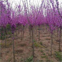 江苏紫荆价格便宜 冠幅1米2米丛生紫荆订购电话