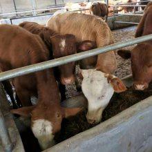 300斤西门塔尔牛犊价格养殖利润