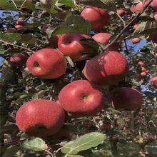 3公分维纳斯黄金苹果树苗 4公分中秋王苹果树苗 正一 基地***