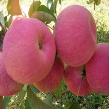 瑞香红苹果苗价格 瑞阳苹果树行情 正一 基地