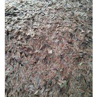 精选杜仲种子价格 植物黄金树种