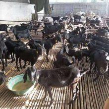 山羊价格报价一斤价格报价一斤现货价格
