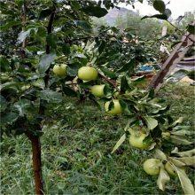 北京苹果苗价格_鲁丽苹果苗单价_3年成苗成活率高