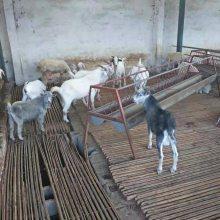 白山羊价格报价一只价格报价农场直发