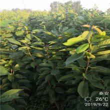樱桃苗品种纯正 3公分樱桃苗品种 早大果樱桃苗成熟时间