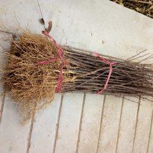 纯正大红袍花椒苗批发种植要点花椒苗基地品种
