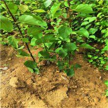 杏树苗价格杏树苗新品种_如果您想种植杏树苗请正一园艺_重信誉讲诚信