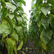 供应各植物工程绿化苗杜仲 2公分杜仲苗农户*** 正一 自产自销