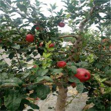 苹果苗 苹果实生苗 鲁丽苹果苗 2公分苹果树苗价格