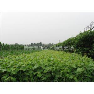 供应葡萄苗什么品种好,酿酒用葡萄种苗,葡萄苗种植樱桃