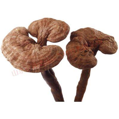 一級活體靈芝菌種基地自產自銷 價格優惠康瑞靈芝