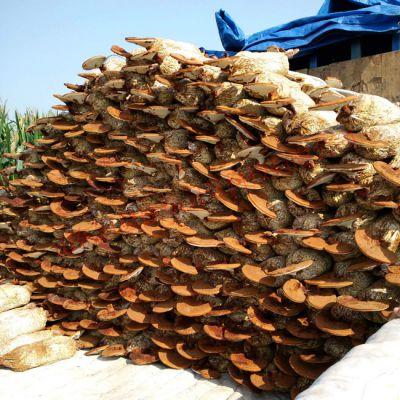 生产销售食用菌菌种 河南赤灵芝菌种市场价格 康瑞灵芝基地直销