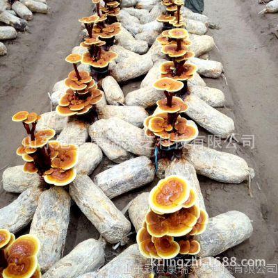 山東靈芝盆景批發 靈芝盆景菌種 活體靈芝盆栽種子 靈芝栽培種